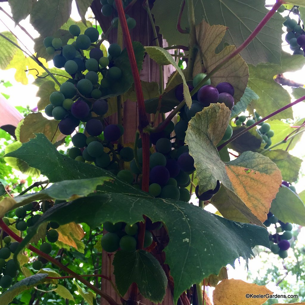 One grape plant offers so much at Keeler Gardens.