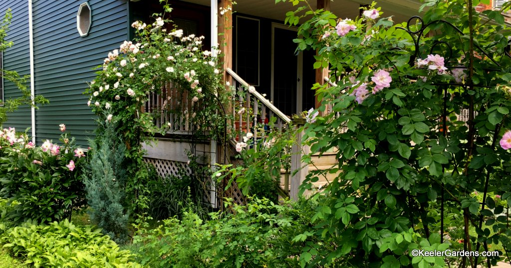 Roses cover the arbor and trellis, and peonies complement.