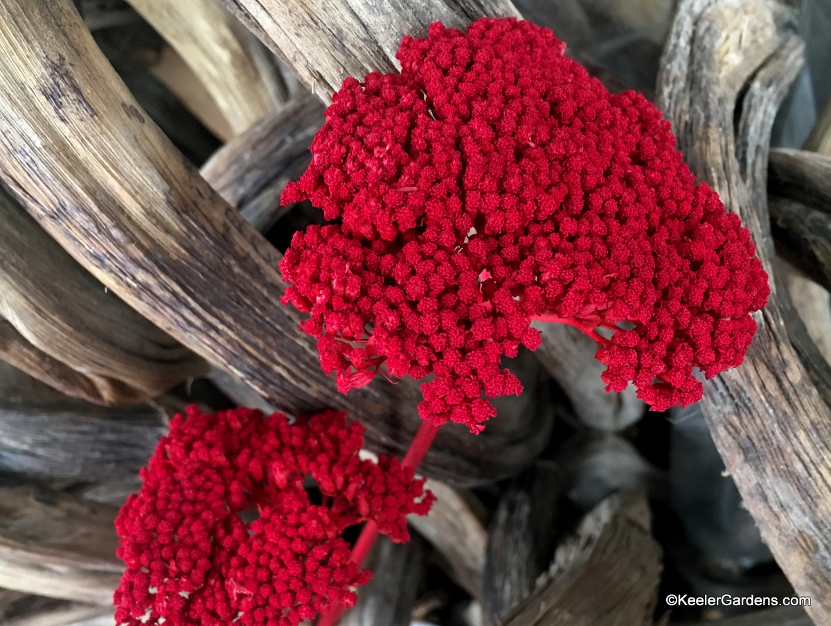 "Two bunches of yarrow flowers, dried and dyed a perfect candy-apple red sit in front of thick weathered grape ""vine"" branches."