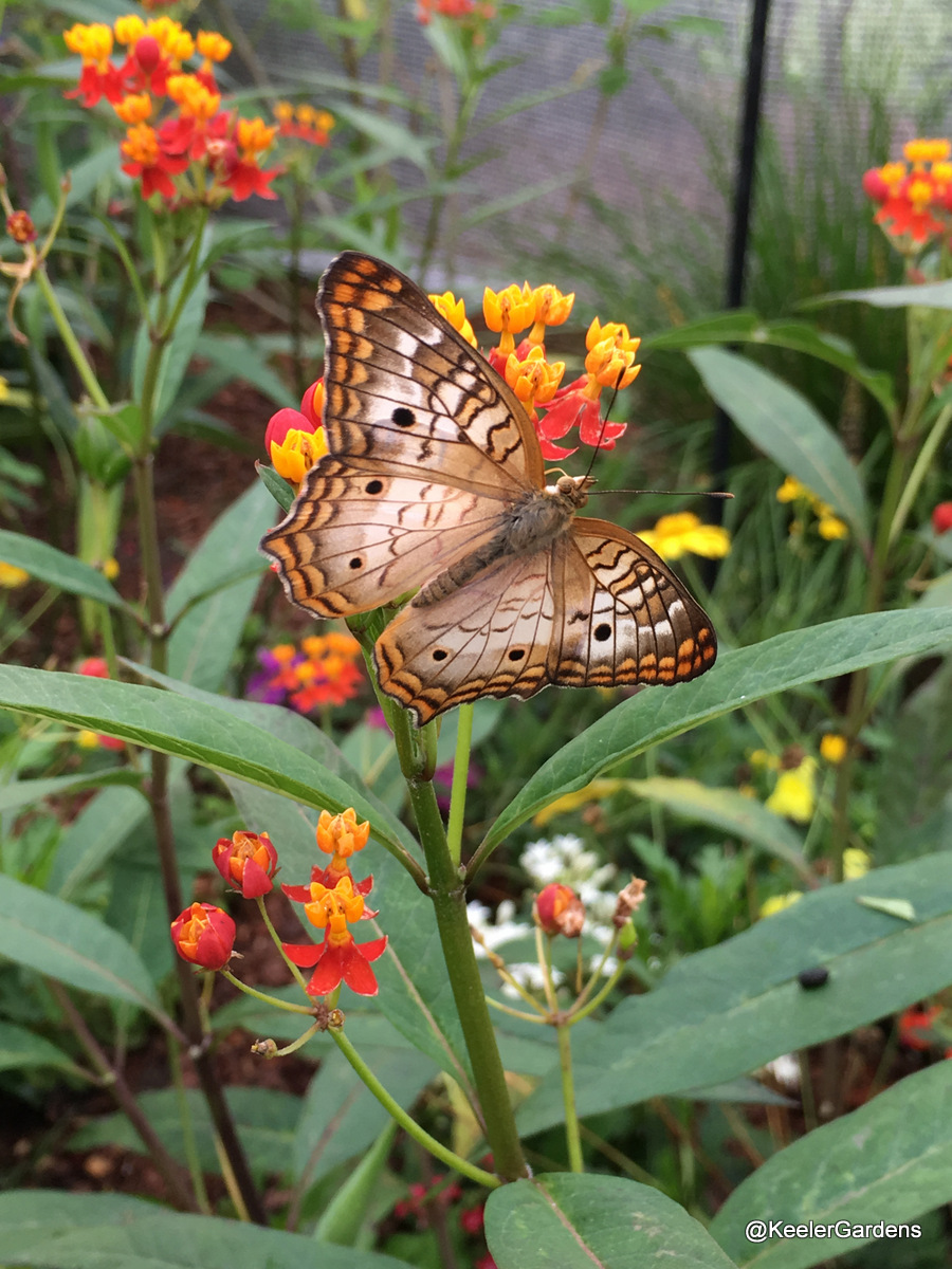 In the center of the picture, a white peacock butterfly with spread wings rests on a cluster of spiky, light orange and dark red milkweed flowers. The butterfly is a pale brown with three dark brown spots on each wing and several rows of rusty orange and dark brown stripes around the wavy edges of the wings.