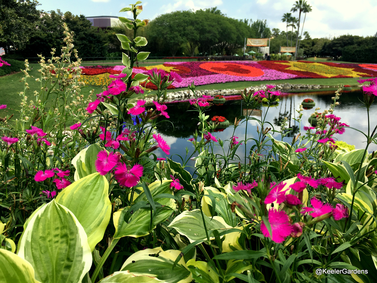 In the background, the Festival Blooms display at Epcot is spread across a strip of grass above a lagoon. The display is pink, magenta, red, orange and yellow, and is made in the shapes of stars, suns, and the Mickey Mouse logo. In the foreground, green hosta leaves edged with contrasting white are mixed in with dianthus, little hot pink flowers with fringed petals clustered at the ends of long, thin stalks.